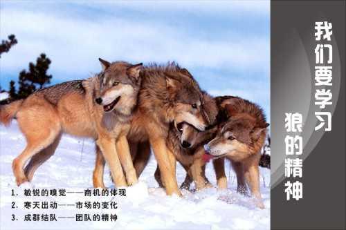 我们要学习狼的精神